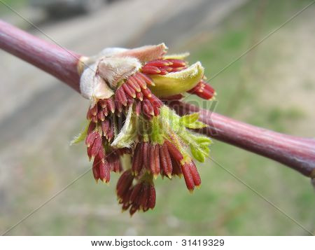 Spring. Red Maple Catkins. Macro