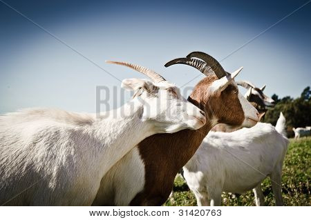 goats snuggling on the meadow