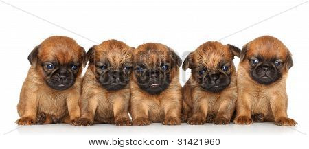 Griffon Bruxellois Puppies Over White