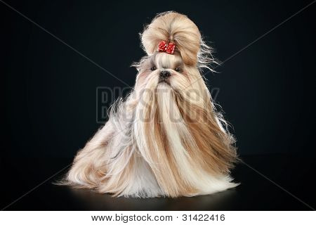 Beautiful Shih-tzu dog