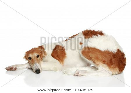 Russian Borzoi Puppy (5 Months) Lying. Side View