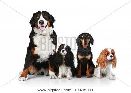 Постер, плакат: Собака группы на белом фоне, холст на подрамнике