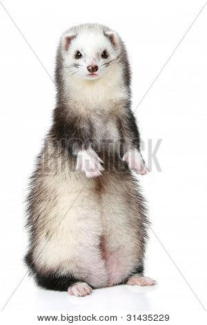 Polecat Stands On A White Background