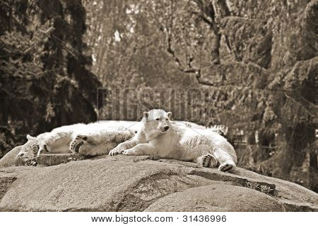 Polar bear resting on a rock at the Berlin zoo