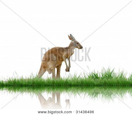 kangaroo with green grass isolated on white background