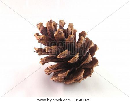 Piña de pino ponderosa