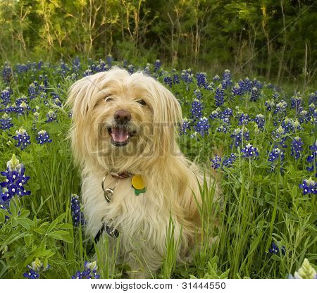 Dog Sitting Among The Bluebonnets