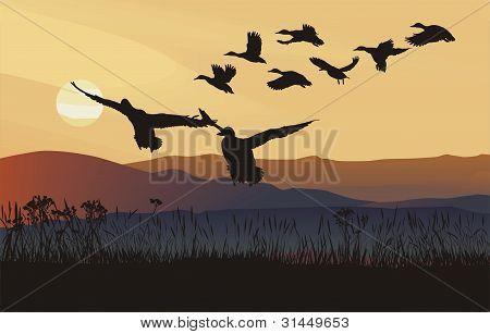 Mallard ducks at sunrise