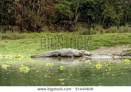 Crocodile In Royal Chitwan National Park, Nepal