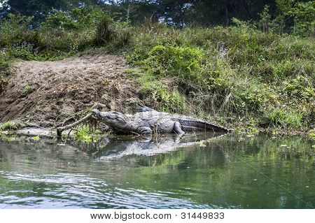 Crocodile In Royal Chitwan National Park In Nepal