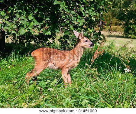 European Roe Deer Fawn