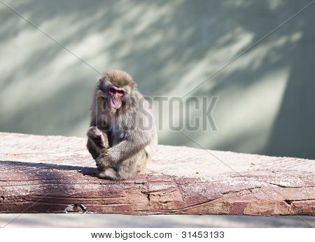 Japanese macaque monkey