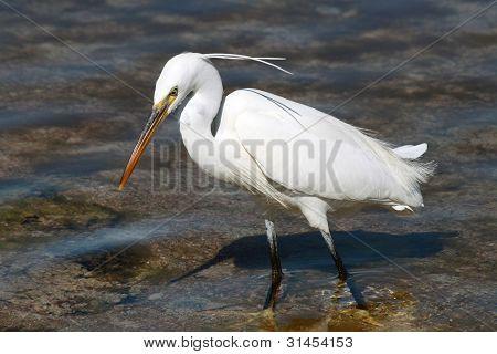 Little Egret (egretta Garzetta) In Sharm El Sheikh, Egypt