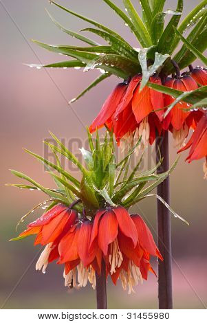 Orange Crown Imperial Flowers