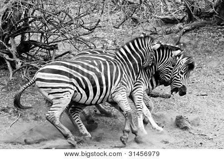 3D Zebras