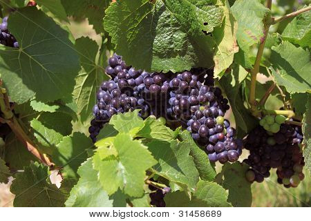 Bunch Of Grapes