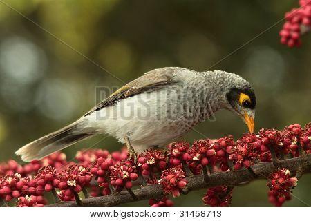 Myna Bird Pest