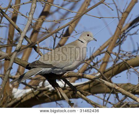 Collared Dove (streptopelia Decaocto)-1.