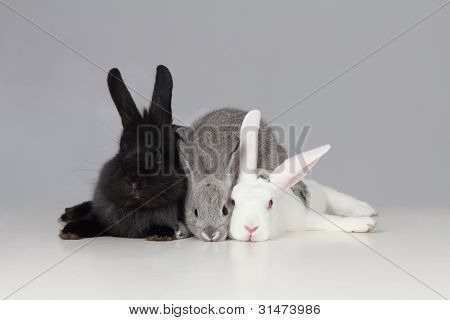 White Black And Gray Bunnies