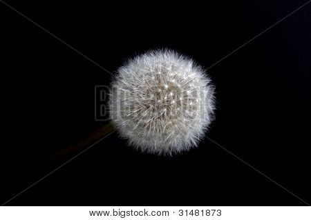 full dandelion seed head