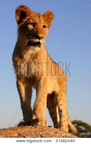 The young Lion King