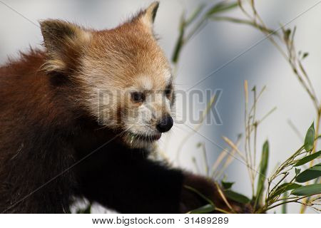 Red Panda Feeding On A Branch