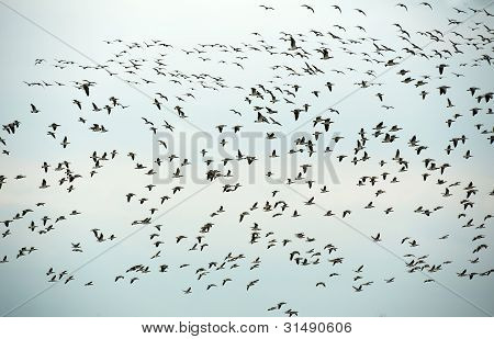 Geese flying in formation in spring