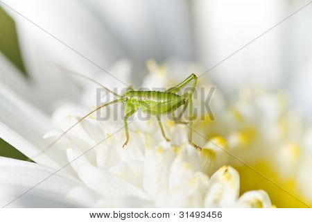 Katydid (odontura Glabricauda)
