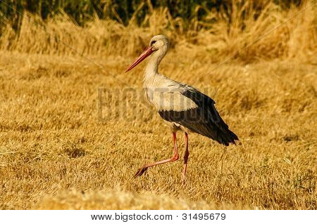 Stork on yellow harvest field