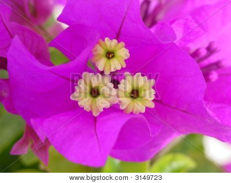Close-Up On Bougainvillier'S Flower