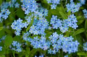 picture of forget me not  - Group of wild forget - JPG