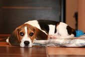 stock photo of puppy beagle  - Beagle puppy has a rest on a rug  - JPG