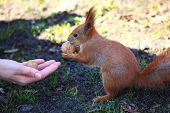 Woman Offers And Gives The Nut To The Cute And Furry Squirrel In The City Park poster