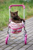 British Shorthair Cat Laying In Colourful Baby Stroller Outdoors. Playful Domestic Cat Sitting In A poster