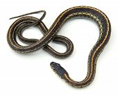 stock photo of garter  - Eastern Garter Snake  - JPG