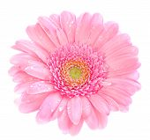 stock photo of easter flowers  - macro image of a gerbera flower in pink yellow and green - JPG
