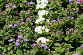 Densely Planted Floss Flower Or Ageratum Houstonianum Or Flossflower Or Bluemink Or Blueweed Or Puss poster