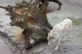 White Wolf (canis Lupus Albus Or Tundra Wolf) In Zoo. poster