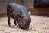 Black Mini Pig Of The Vietnamese Breed On Sty. Curious Little Piglet On A Farm Looking At The Camera poster