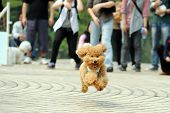 image of frizzle  - Little poodle dog running on the ground - JPG