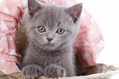 Scottish Straight Kitten. Isolated On A White Background. Funny, Furry Kitten Look Closely poster
