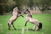 image of wild horses  - Wild horses in spring in a field - JPG