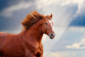 image of wild horse running  - chestnut horse closeup against the blue sunny skies - JPG