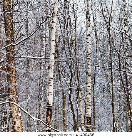 Birch Trunks In Winter Forest