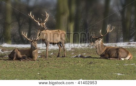 Trio of red deer stags
