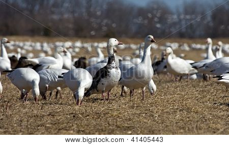 Snow Geese Foraging