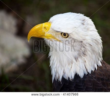 Closeup Of Head Of Bald Eagle