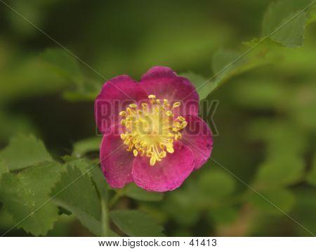 Dwarf Woodland Rose