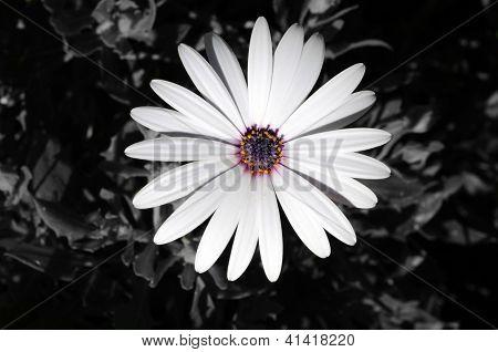 White Osteospermum.