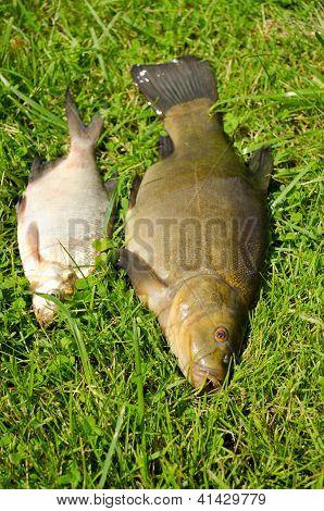 Lake Fishes Tench Orange Eye Bream Green Grass